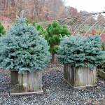 PICEA PUNGENS MONTGOMERY on left GLOBOSA right   Dwarf Colorado Blue Spruce